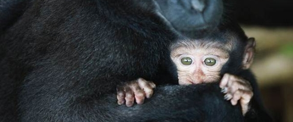 Crested black macaque baby