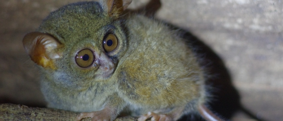 Tarsier looking side