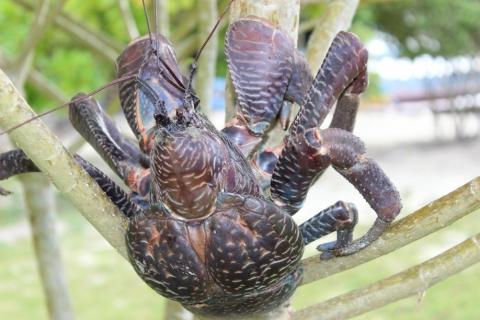 Endangered Crab for Dinner